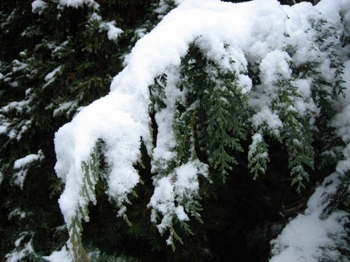 Evergreens are better prepared to tolerate late spring frosts — even snow — but the flower buds on deciduous trees might not fare as well.