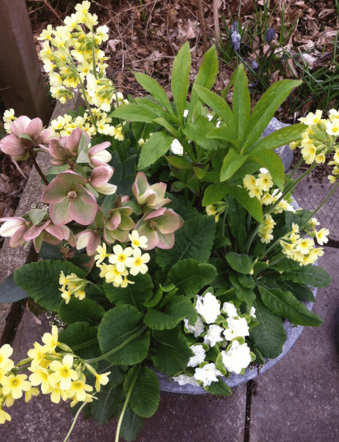 Yellow and white primroses paired with pink hellebores make a pretty spring container garden.