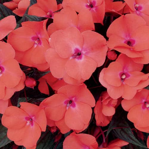 New Guinea impatiens, such as Infinity Salmon fromProven Winners, is one type of impatiens resistant to downymildew.