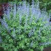 Blue false indigo (Baptisia australis) likes full sun and is drought tolerant once established. (Garden Making photos)