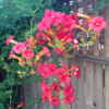 """""""No doubt this can be a thug, but 'Lipstick' trumpet vine is a hummingbird magnet in ourgarden,"""" says Allan Armitage. (Photos from his Twitter account)"""