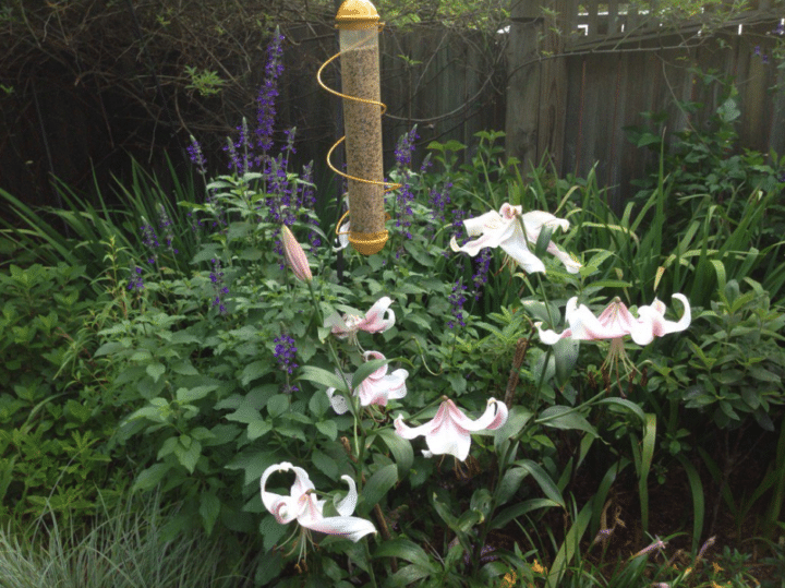 """""""Lily time at the Armitage garden. 'Anastasia' just keeps getting better,"""" Allan says."""