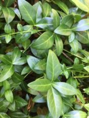 Periwinkle, although persistent, can be eradicated over time. (Photo by Garden Making)