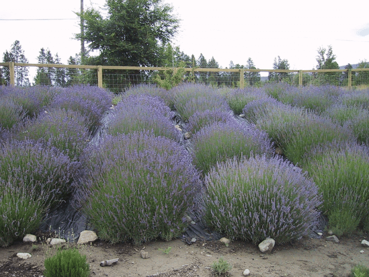 Lavender growing on a farm in the Okanagan Valley of British Columbia. (Garden Making photo)
