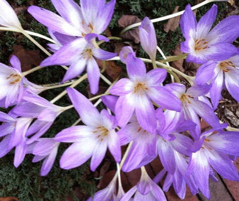 Colchicums are a welcome surprise in fall. (Garden Making photo)
