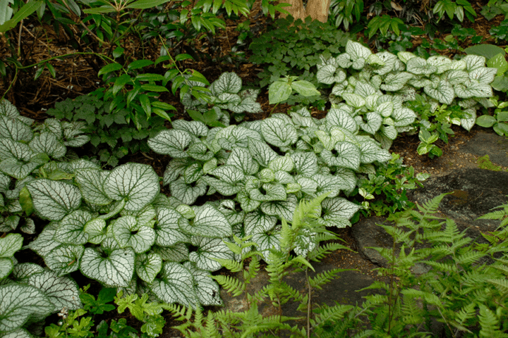 Brunnera macrophylla 'Jack Frost' for your perennial border. (Photo by Walter Gardens, Inc.)