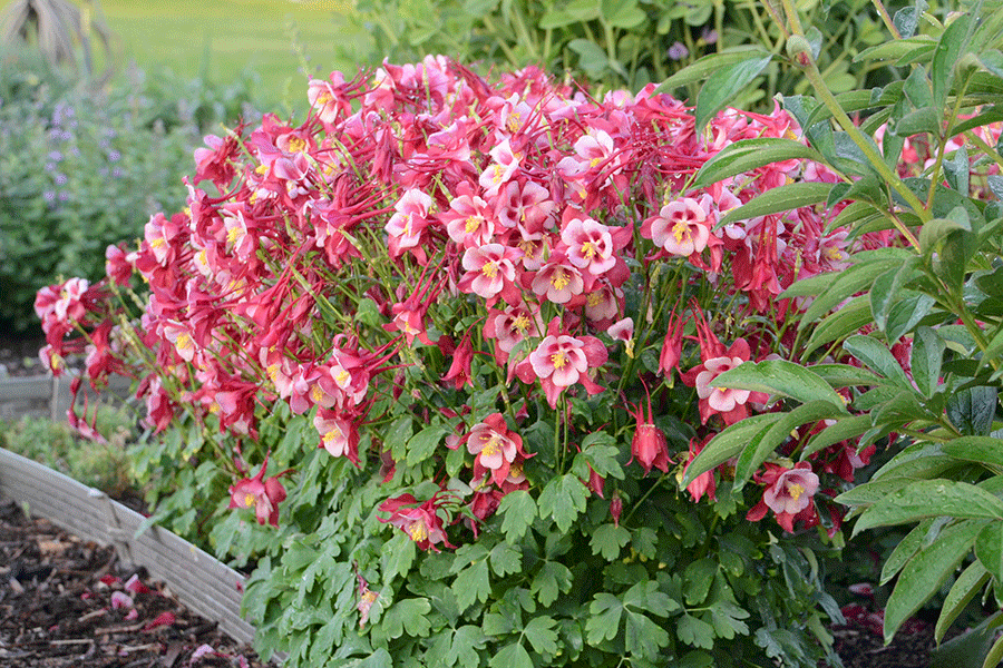 Columbines make an excellent addition to any perennial border. (Photo by Walter Gardens, Inc.)