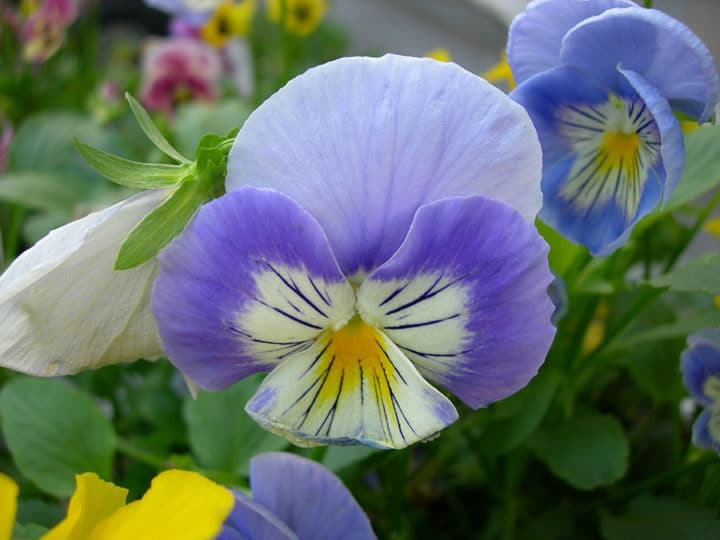 Pansies are cool-season plants, they like cooler temperatures, and so do their seeds.(Photo by Joanne Young)