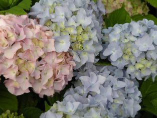 Hydrangea macrophylla flowers on old, second-year wood. (Photo by Joanne Young)