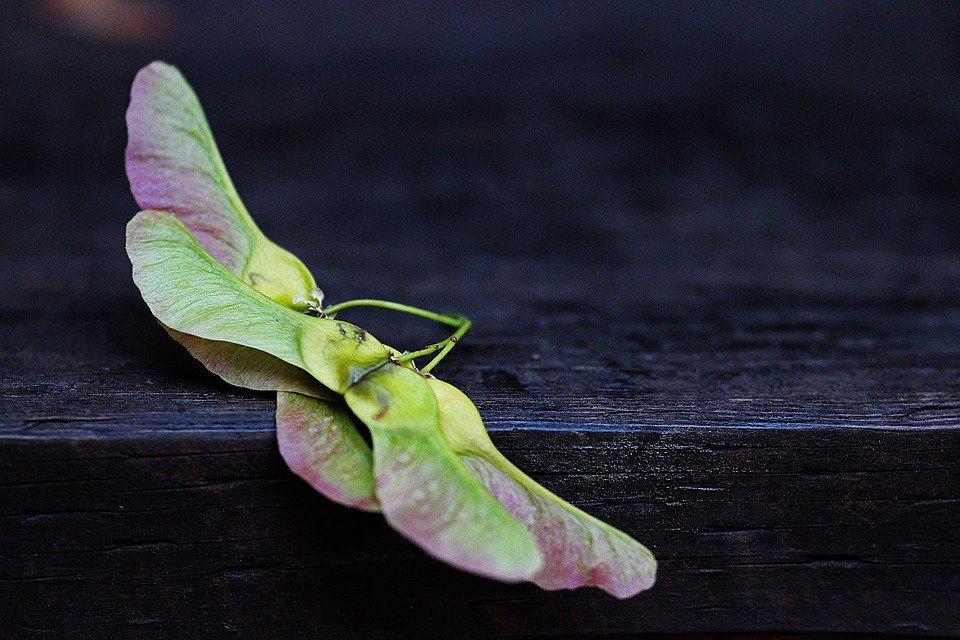 Fallen maple keys often produce saplings in unwanted places. (Photo by Pixabay)