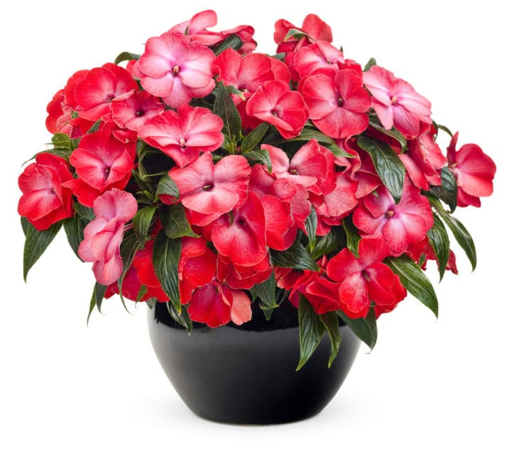 New Guinea impatiens will provide some flower colour in shady areas. (Photo by Proven Winners)