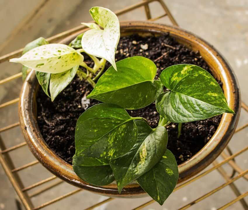 Pothos plant (Photo by Pixabay)