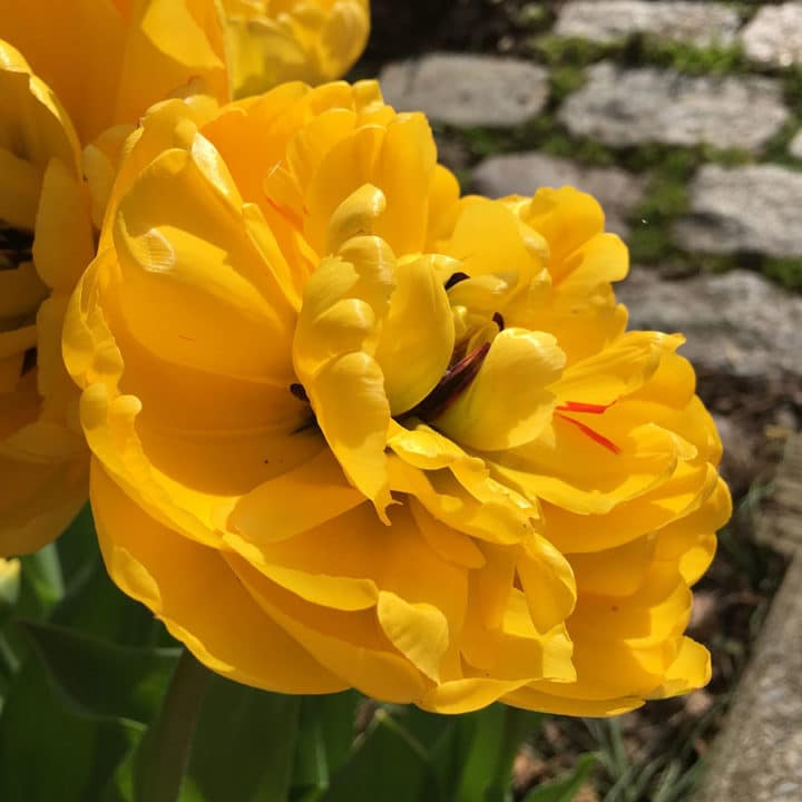 'Monte Carlo' tulip is avibrant yellow with abundant petals.(Photo by Kathy Renwald)