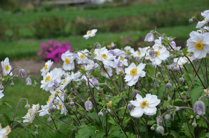 Anemones plants have tall flowers that dip and bob atop long, wiry stems. (Photo by Walters Gardens, Inc.)