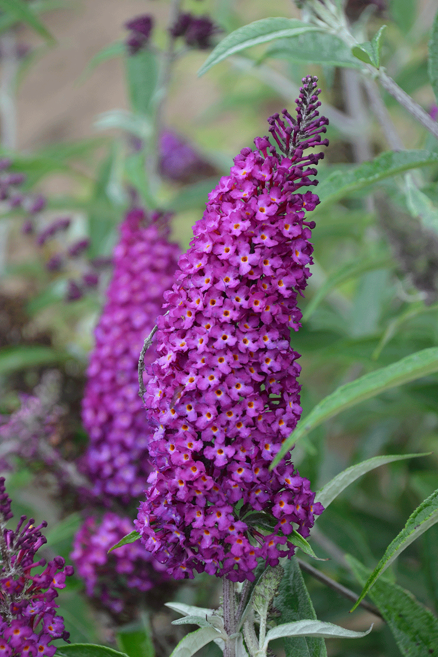 By midsummer, the branches of the 'Magenta Munchkin' butterfly bush will be bobbing up and down in the wind. (Photo by Walters Gardens, Inc.)
