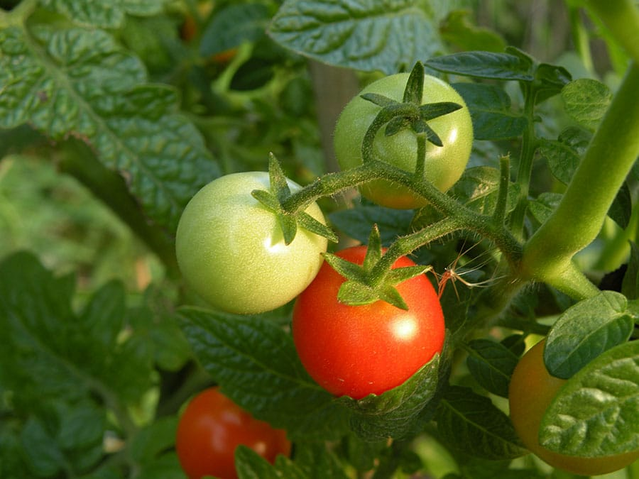 Start tomato seedlings indoors and keep plants consistently well watered. (Photo by Joanne Young)