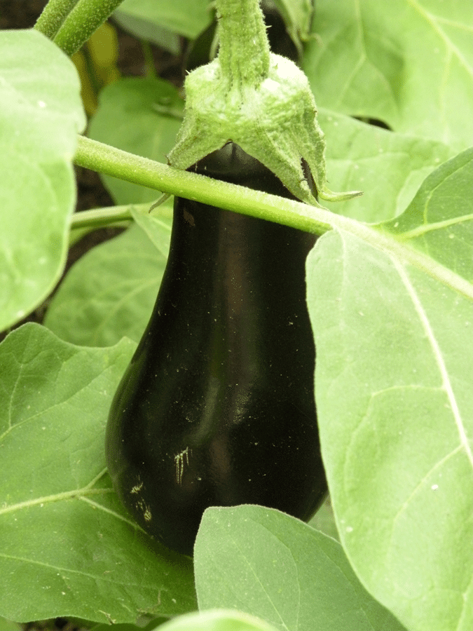 Eggplant skin should be smooth and glossy.  (Photo by Joanne Young