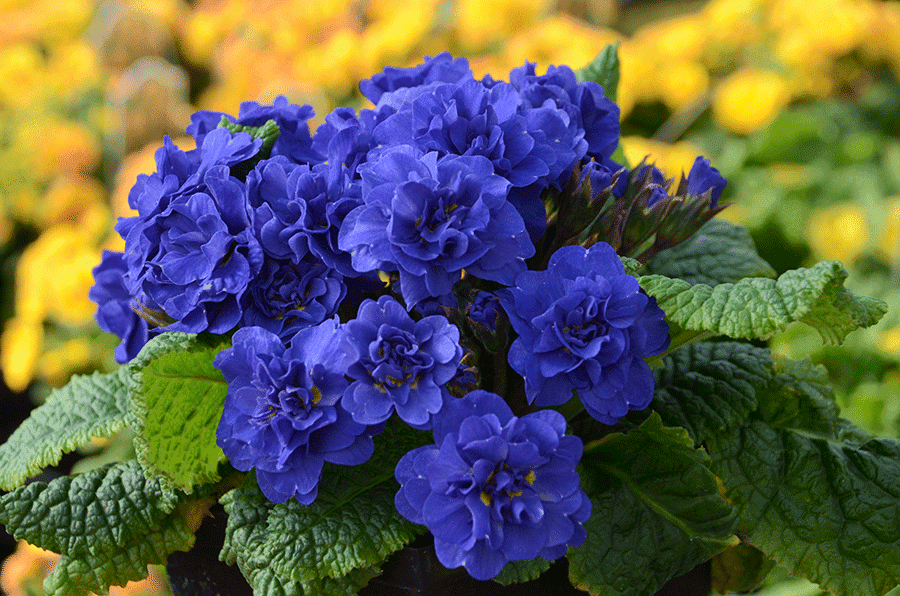 Common primrose (Primula vulgaris and cultivars) will do well in consistently soggy soil and shady areas. (Photo by Walters Gardens, Inc.)