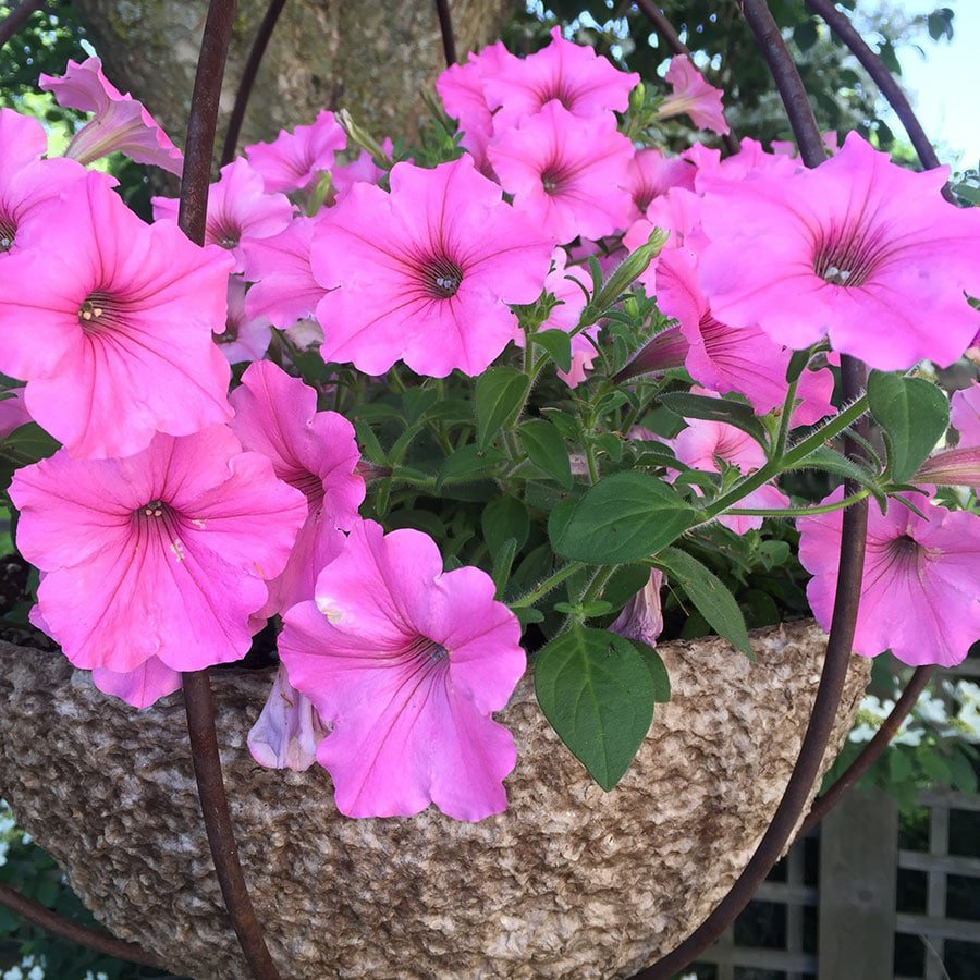 Vista Bubblegum Superpetunias give a pop of colour in hanging baskets and containers. (Photo by Garden Making)