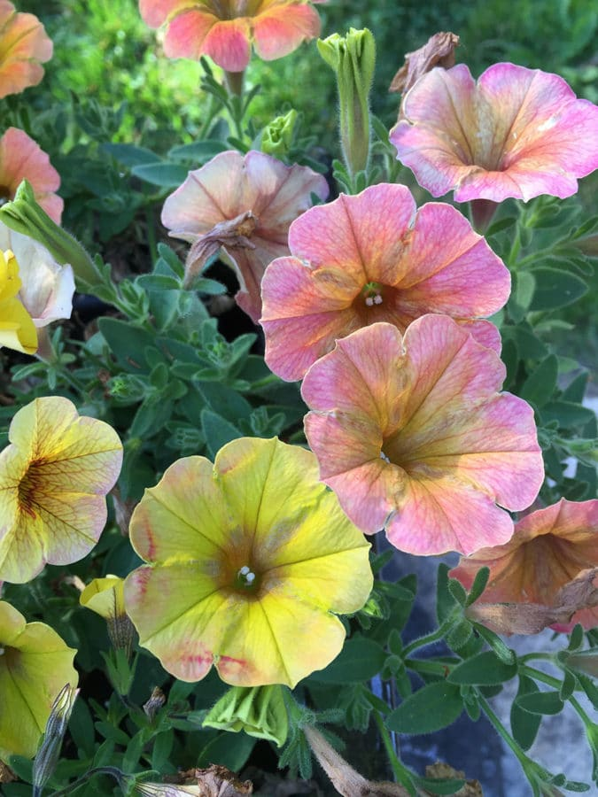 Honey Superpetunia blooms are iridescent yellow infused with shades of coral and pink. (Photo by Garden Making)