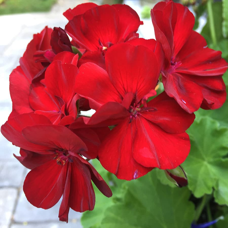Cherry red ivy geraniums won't shy away from intense sun and heat. (Photo by Garden Making)