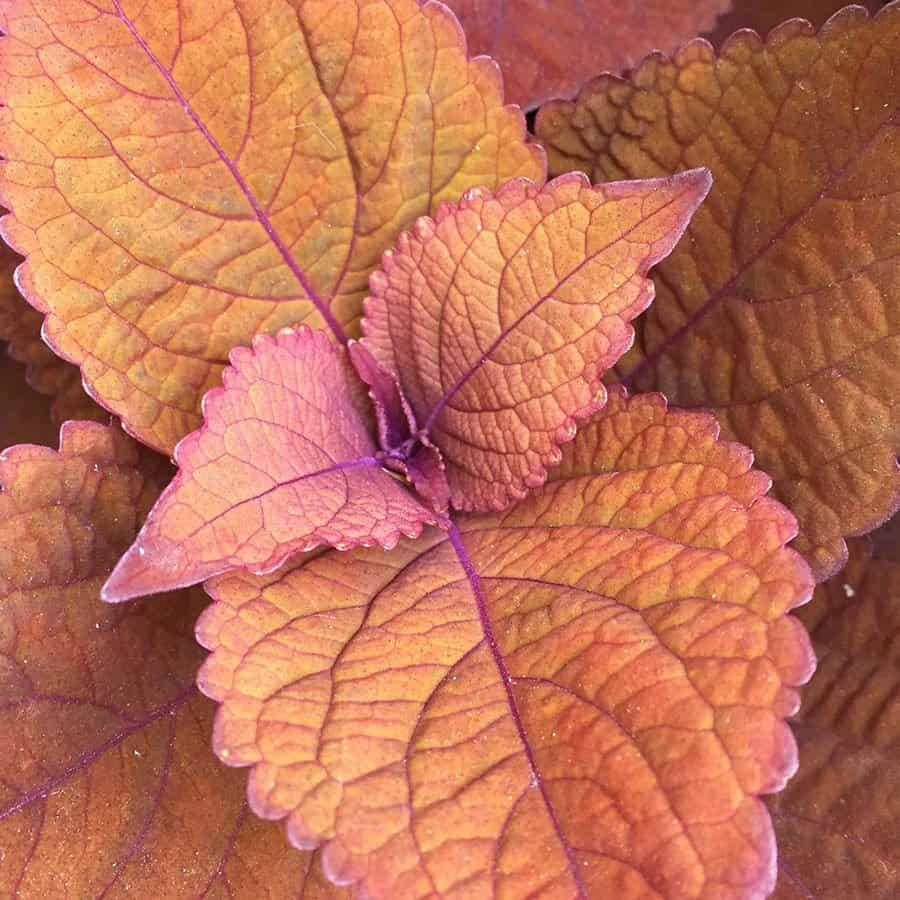 Keystone Kopper is a sun-tolerant, non-flowering coleus. (Photo by Garden Making)