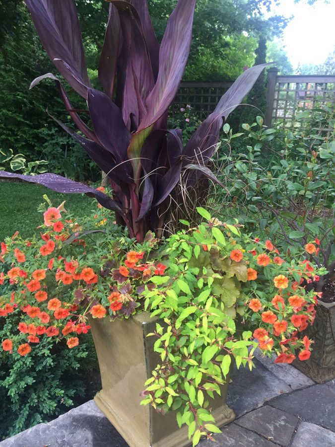 'Intrigue' canna has long, narrow leaves originating from itsbase, which make the plant appear lush and full. (Photo by Garden Making)