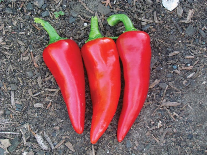 Flaming Flare pepper. (Photo by Stokes Seeds)