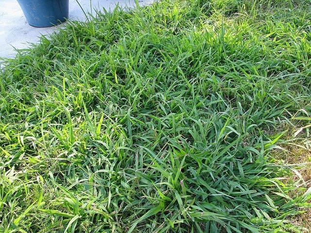 Troublesome crabgrass(Photo from Flickr by Pollyalida)