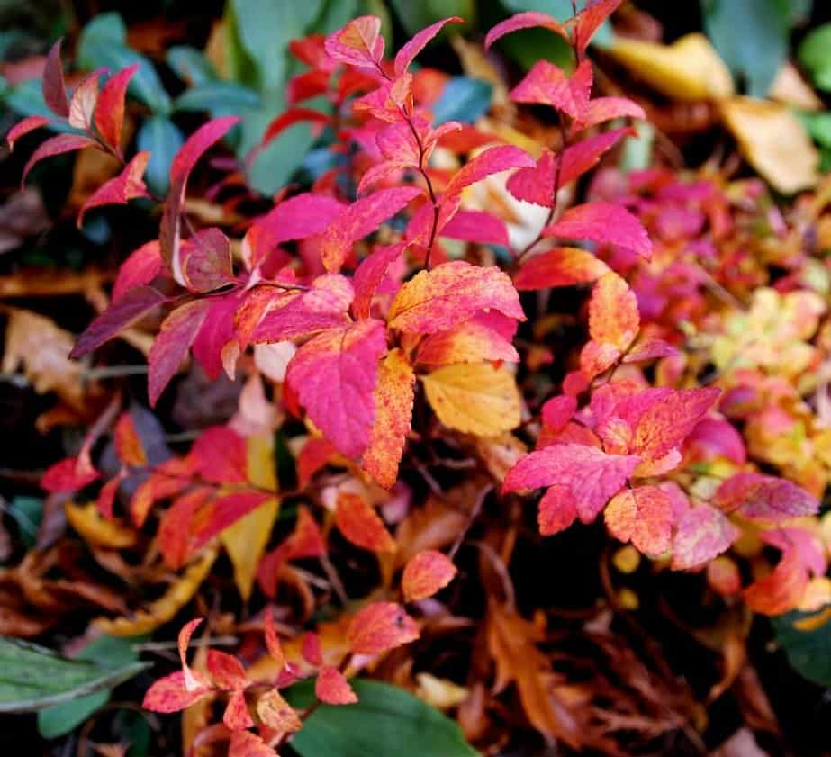 Double Play Artist, a short spirea that emerges in spring with rich purple-red leaves that turn blue-green for summer, has burgundy foliage in autumn. (Photo by Brendan Adam-Zwelling)