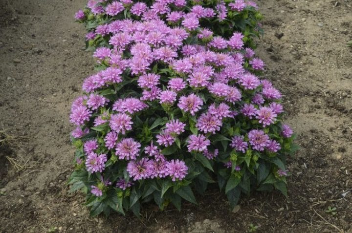 Try adding bergamot (Monarda didyma) in your tea for a citrus-spice flavour. Photo by Walters Garden, Inc.