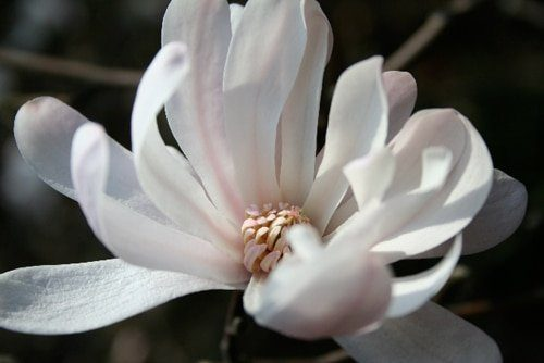 'Rosea' magnolia (Photo by Lorraine Beswick)
