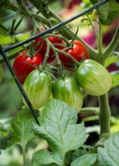 'Mighty Sweet' cherry tomato (Photo by Brendan Zwelling)