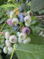 Wait to harvest blueberries until the berries have turned from green to reddish purple to deep blue, and then wait an extra two days for the sweetness to develop. (Photo by Joanne Young)
