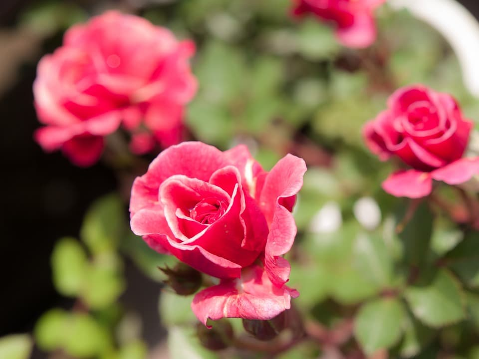 Miniature roses (Photo from Pixabay)
