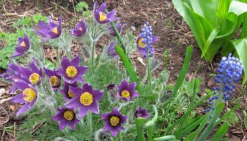 """The prairie crocus (or """"pasqueflower"""") often bursts into bloom before the last traces of winter snow have melted. It bears sumptuous cup-shaped lavender-purple flowers held above finely dissected fern-like leaves"""