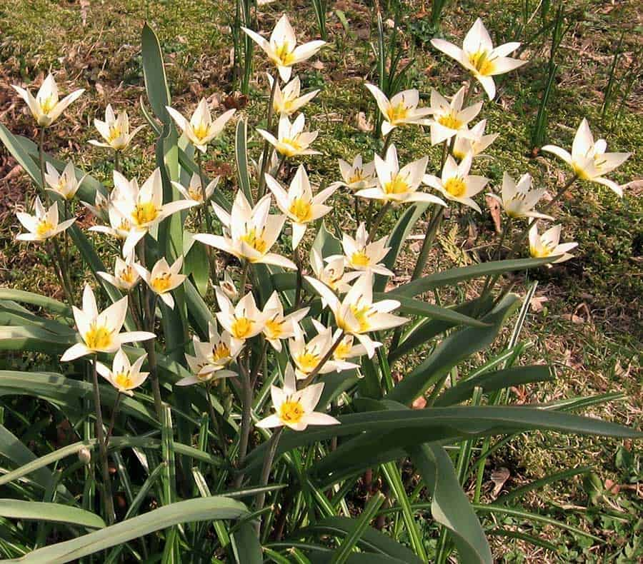 Tulipa-turkestanica,-Apr-2017,-Beaverton-003