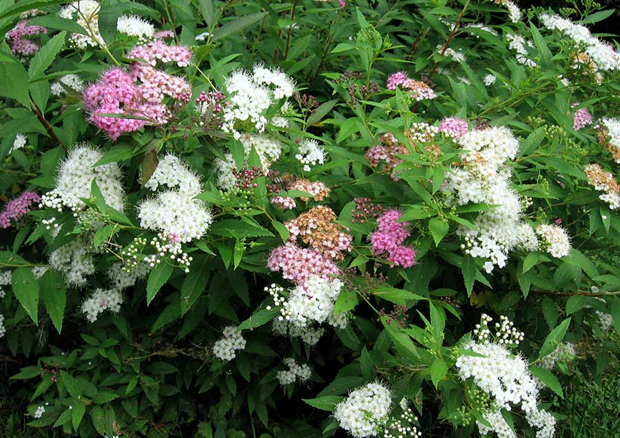 'Genpei' is unique among Japanese spireas for producing white, pink and rose-red flowers on the same plant at the the same time.
