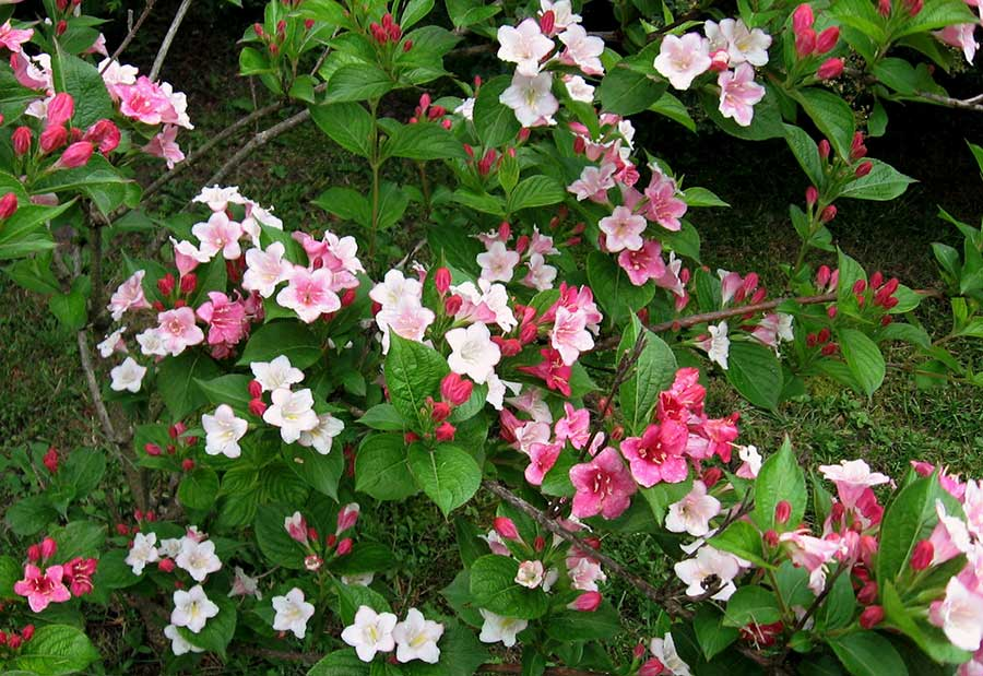 Carnaval seems a perfect name for this jolly, tricoloured weigela. It bears large white, pink and rose-red azalea-shaped flowers on the same branch