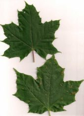 sugar maples have three lobes (like the flag) while Norway maples have five lobes with pointy, tapered tips.