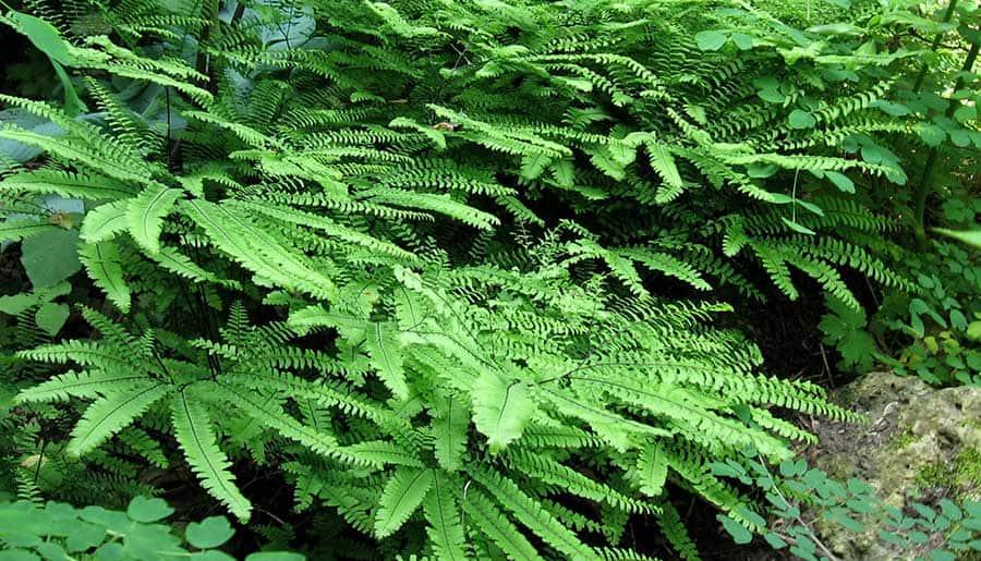 Maidenhair fern in woodland-style front garden north of Toronto.