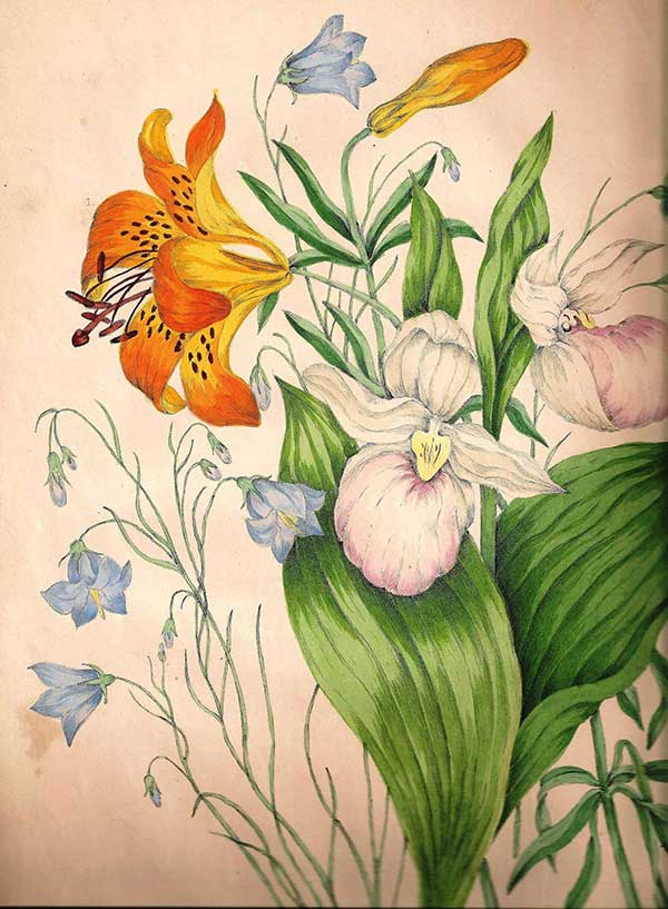Illustration from 1868 Canadian Wild Flowers by Catharine Parr Traill : Harebell (Campanula rotundifolia) Wood lily (Lilium philadelphicum) Showy lady's slipper orchid (Cypripedium reginae)