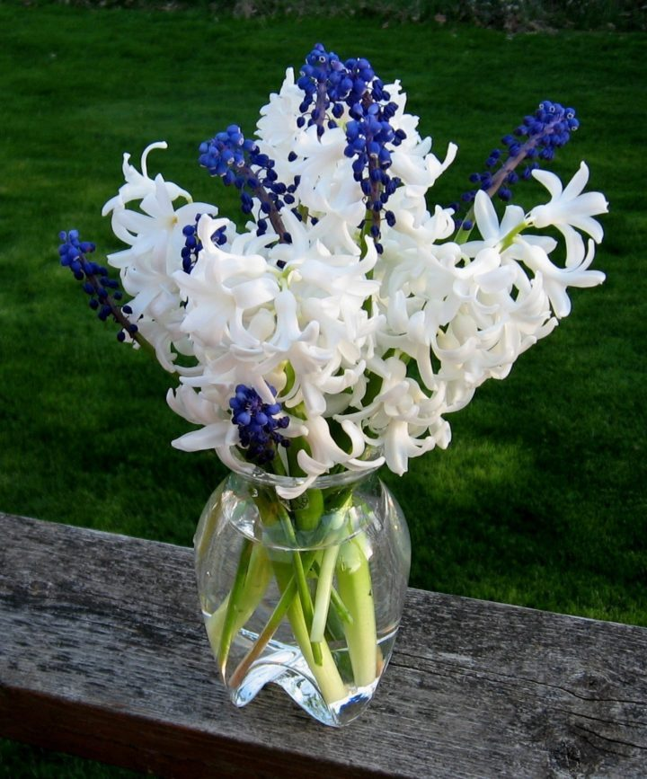 White hyacinths with grape hyacinths