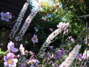 Cimiifuga and Japanese anemone in garden in Beaverton, Ontario. (Photo by Stephen Westcott-Gratton)