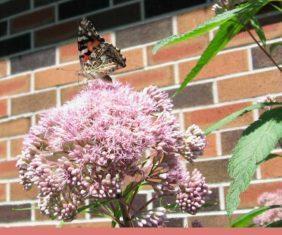 Joe Pye w painted lady butterfly (Vanessa cardui) in Beaverton, Ontario, August 2017. (Photos by Stephen Westcott-Gratton).