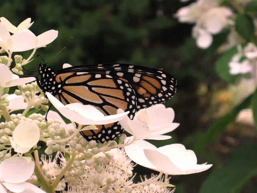 Butterfly on Hydrangea paniculata Pink Diamond in Beaverton, Ontario.