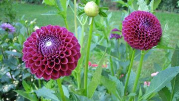Dahlias in summer 2017: Saving the tubers over the winter.