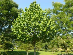 Pawpaw is small tree with a beautiful, pear-shaped form and hardy to Zone 6. (Photo: Ontario Ministry of Agriculture, Food & Rural Affairs)