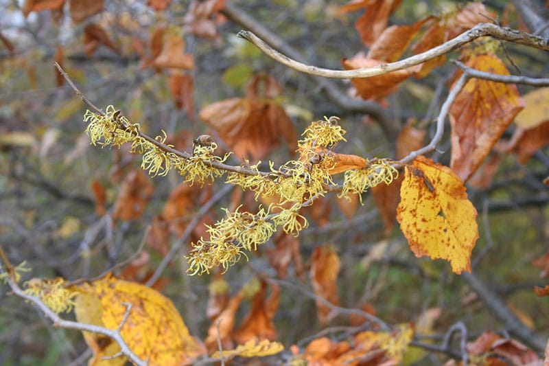 Hamamelis virginiana witchhazel is cold hardy for an Edmonton garden. (Photo by Vineland Nurseries