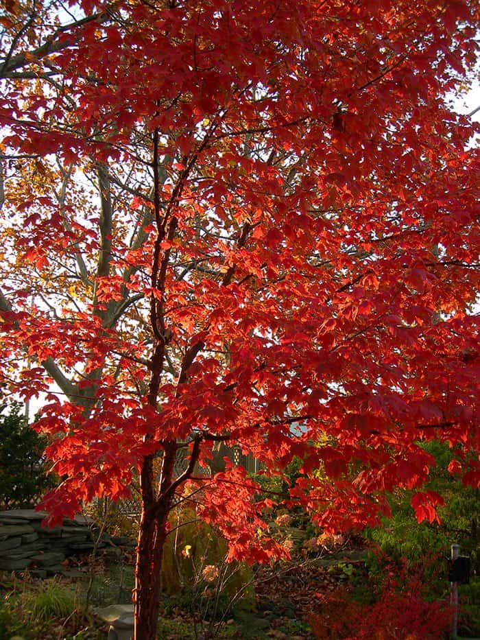 Paperbark-Maple-Fall-Joanne-Young-photo